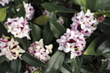3 Daphne Odora / Winter Daphne, 1-2ft Tall in 2L Pots, Stunning Winter Flowers