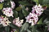 3 Daphne Odora / Winter Daphne, 1-2ft Tall in 2L Pots, Stunning Winter Flowers