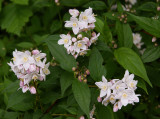 Deutzia Rosea' 1-2ft Tall in 2L Pot, Attractive Sprays of Double Flowers In Late Spring
