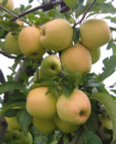 Golden Delicious Apple Tree 4-5ft,6L Pot, Self-Fertile, Very Sweet Flavour