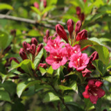 3 Weigela Bristol Ruby in 2L Pot, Lovely Deep Red Bell-shaped Flowers