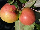 James Grieves Apple Tree 4-5ft in 6L PotReady to  Fruit, Desert & Cooking Apple