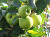 Howgate Wonder Apple Tree 4-5ft In 6L Pot, Juicy & Sweet, Cook & Eat
