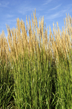 Calamagrostis acutiflora 'Karl Foerster'/ Feather reed-grass In 2L Pot