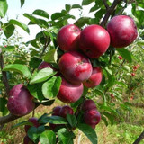 Spartan Apple Tree  4-5ft Tall, in a 6L Pot, Self-fertile,Refreshing & Sweet