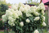 Hydrangea paniculata 'Unique' In Large 3L Pot With Stunning Conical Flowers