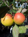 Elstar Apple Tree 4-5ft Tall In 6L Pot, Sweet Crunchy Desert Apple