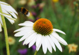1 Echinacea purpurea 'White Swan' / coneflower 'White Swan' In 2L Pot