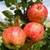 Fiesta Apple Tree 4-5ft, in a 6L Pot, Self-Fertile ,Sweet,Sharp & Juicy
