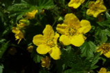 10 Waldsteinia Ternata / Siberian Waldsteinia In 1.5L Pots, Stunning Groundcover Shrub