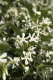 3  Trachelospermum Jasminoides / Star Jasmine  20-30cm in 2L Pots, Pure White Fragrant Flowers