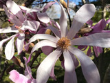 Magnolia Loebneri 'Leonard Messel' 2ft Tall In 2L Pot, Star-like Pink Tepals