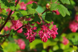 Ribes sanguineum King Edward VII, 30-40cm Tall In 2L Pot, Winter Currant 'King Edward VII