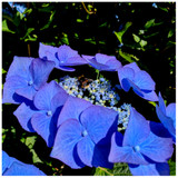 Hydrangea  Macrophylla  Blaumeise In 2L Pot With Stunning Flowers