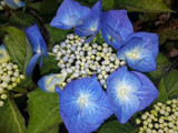Hydrangea  Macrophylla  Blaumeise 25-30cm Tall In 2L Pot With Stunning Flowers