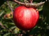 Beauty Of Bath' Apple Tree 4-5ft, 6L Pot Ready to Fruit Mild,Sharp & Sweet
