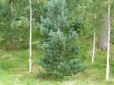 1 Scots Pine Tree 1-2ft Tall In 2L Pot, Native Evergreen, Pinus Sylvestris
