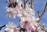 Prunus Autumnalis Rosea /Winter-Flowering Cherry,4-5ft Tall In 3L Pot, Semi-Double Flowers