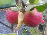 Laxton's Superb Apple Tree 4-5ft Tall in 6L Pot Ready to Fruit,Crisp,Sweet,Crunchy & Juicy