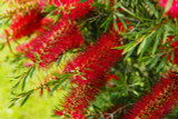 Callistemon 'Royal Sceptre' 25-30cm In a 2L Pot, Stunning Bright Red Flowers