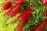 Callistemon 'Royal Sceptre' 25-30cm In a 2L Pot, Stunning Bright Red Flowers