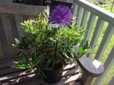 Rhododendron ponticum 'Variegatum' 30-40cm Tall In a 5L Pot