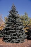 1 Blue Spruce Xmas Tree,Picea Pungens Glauca 1-2ft In 2L Pot, Lovely Blue Pine Needles
