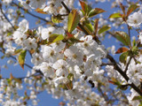 Prunus Avium 'Plena' 4-5ft Tall in 6L Pot, Stunning White Double Blossom, Wild Ornamental Cherry