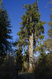 1 Sitka Spruce 2-3ft Tall In 2L Pot, Picea Sitchensis, The Largest Spruce in the World