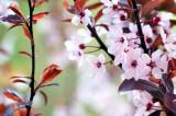 Prunus Cerasifera Nigra / Black Cherry Plum,  In 5L Pot, Stuning Purple Foliage