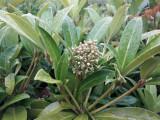 Skimmia Confusa 'Kew Green' 1ft Tall in 2L Pot, Bushy Evergreen Flowering Shrub