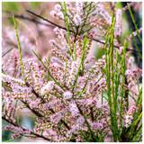 Tamarix tetrandra / Tamarisk / Salt Cedar In 3L Pot, Stunning Flowering Shrub