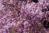 Tamarix tetrandra / Tamarisk / Salt Cedar, 2-3ft Tall In 2L Pot, Stunning Flowering Shrub