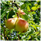 Dwarf Patio Beurre Hardy Pear Tree in a 5L Pot, Ready to Fruit.Full & Distinctive Flavour.