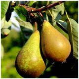 Dwarf Patio Doyenne Du Comice Pear Tree in a 5L Pot, Dessert Pear With Fine Flavour