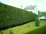 3 Green Leylandii 2-3ft Tall Hedging In Big 2L Pots, Evergreen Leyland Cypress