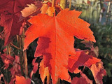 Acer Rubrum 'Sun Valley' / Maple 3-4ft Tall In 3L Pot Stunning Autumn Colours