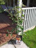 Dwarf Patio Malus domestica Idared 'Summerred' Apple Tree In 5L Pot