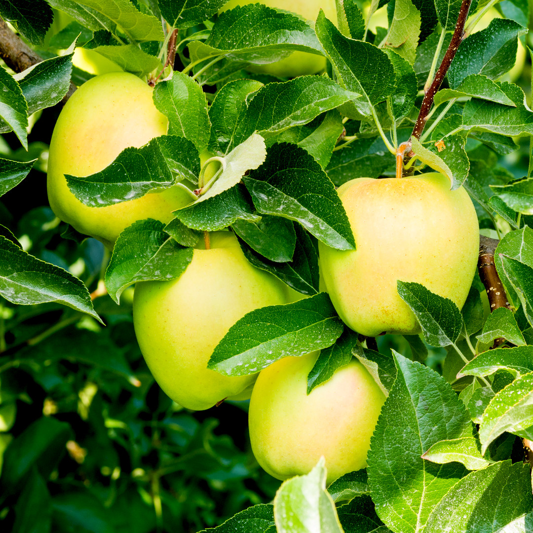 Dwarf Patio Golden Delicious Apple Tree In 5l Pot Sweet Crunchy Dessert Or Cooking Apple Beechwoodtrees