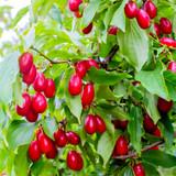 3 Cornus Mas / Cornelian Cherry , 40-60cm Tall Shrub, Glossy Cherry Like Fruit