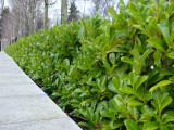 5 Cherry Laurel 30-50cm Prunus Rotundifolia,Bushy Hedging 2yr old plants