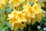 Deciduous Azalea Knap Hill Anneke 30-40cm Tall In 4L Pot, With Stunning Yellow Flowers
