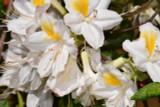 Deciduous Rhododendron /  Azalea Knap Hill 'Persil' 30-40cm Tall in 4L Pot