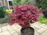 Japanese Purple Maple Tree 1-2ft Tall, Acer Palmatum Atropurpureum Plant In 2L Pot