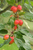 Crab Apple / Malus 'JOHN DOWNIE' Branched Tree 4-5ft Tall, Ready to Fruit, Stunning Red Apples