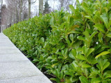 3 Cherry Laurel 30-50cm Prunus Rotundifolia,Bushy Hedging 2yr old plants