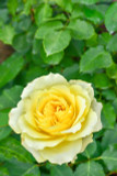 Rosa 'Freedom' Hybrid Tea Rose Bush, Deep Butter-Yellow Flowers & Glossy Leaves