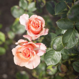 Rosa King's Macc Hybrid Tea Rose Bush, Stuning Gold, Apricot & Pink Double Flowers
