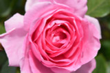 Rosa 'Tickled Pink' Floribunda Rose Bush, Clusters of Old Fashioned Pink Blooms