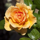 Rosa 'Easy Going' Floribunda Rose Bush, With Warm Peachy Apricot Flowers